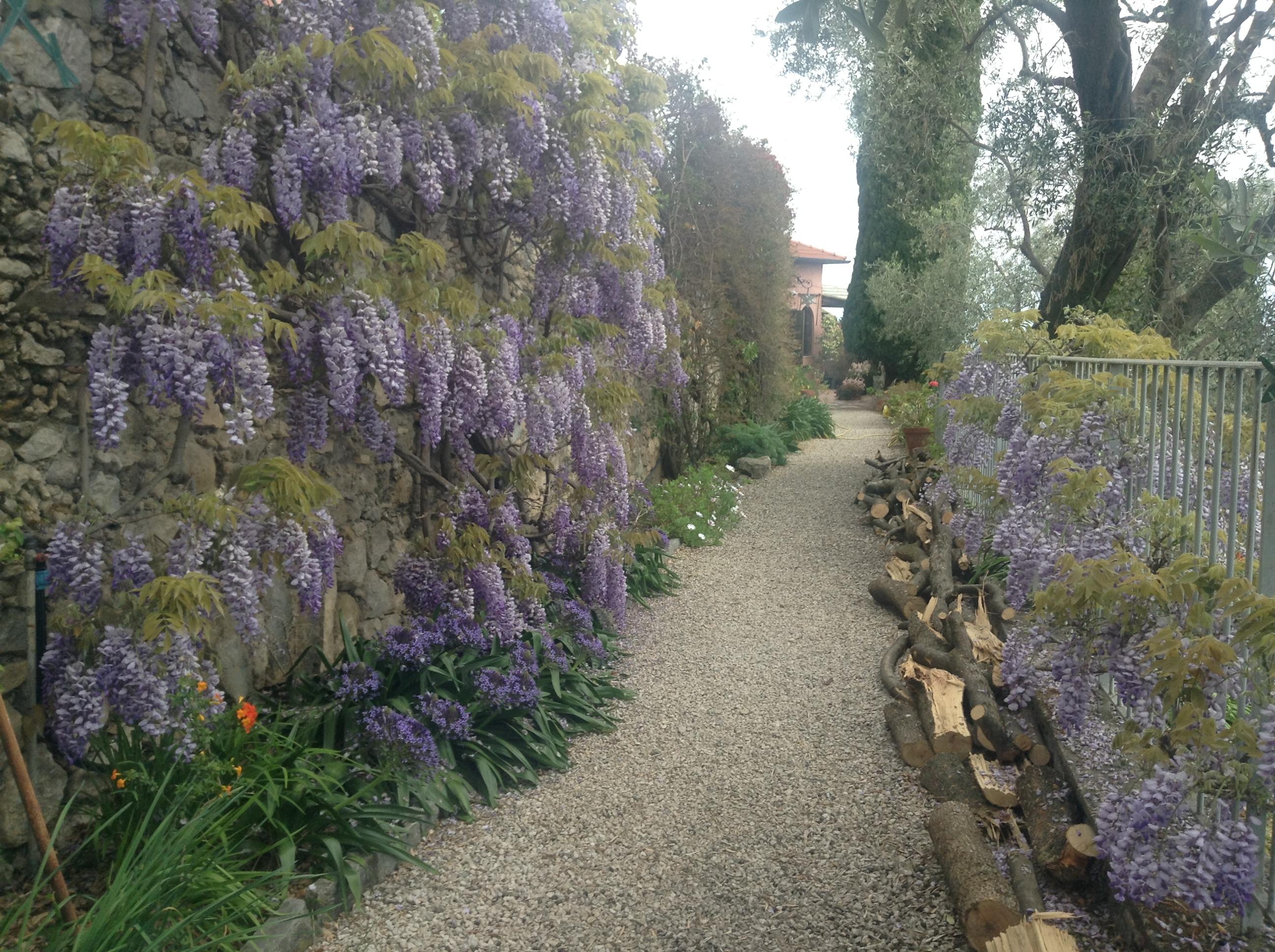 Hanbury wisteria