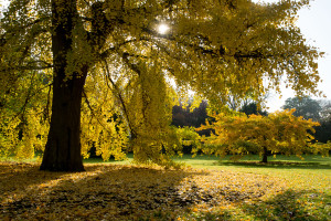 Ginkgo tree in autumn. Photo:RBG Kew.