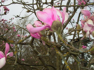 Spring Magnolia at Kew Gardens