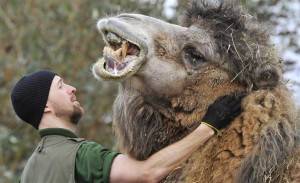 Dental hygiene for a camel.