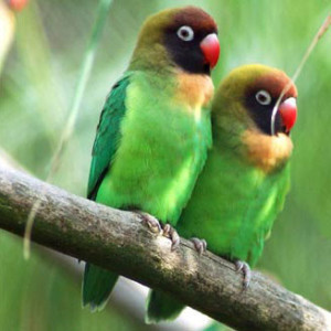 Black-cheeked Lovebirds.