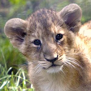 Baby lion cub, born in London Zoo.