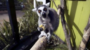A Lemur eating.