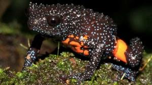 Melanobatrachus indicus.