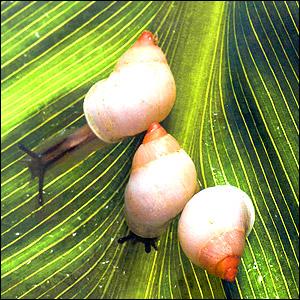 Polynesian Partula Snails