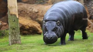 Pygmy Hippo.