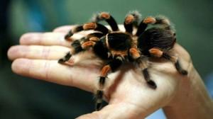 A Tarantula spider.