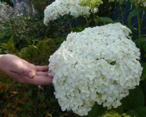 Hydrangea Aborescens Annabelle.